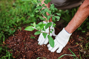 Tree and Shrubs Planting
