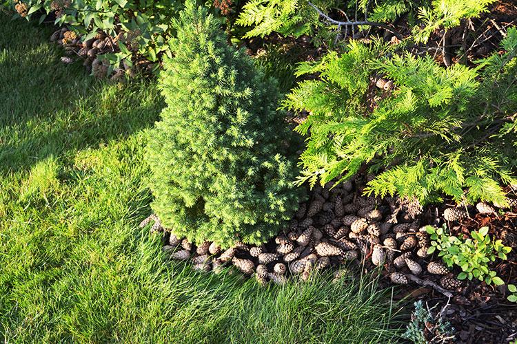 Beautiful Pinecone Mulching Around Trees